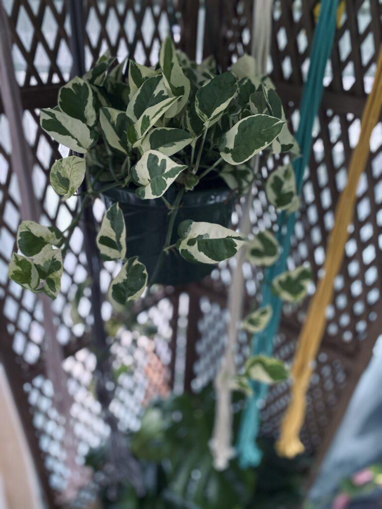 Plant Rambler Plant 1